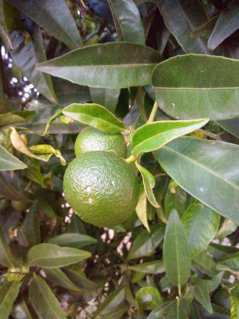 Mandarini ancora verdi di alessandro_bilenchi