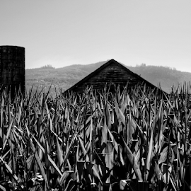 In the corn  by Todd Reynolds - Black & White Landscapes