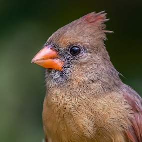 Female Northern Cardinal by Don Young - Animals Birds ( female northern cardinal, nature, bird photography, birds, birding,  )