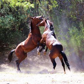 The Neck Grab by Deb Bulger - Animals Horses ( animals, equine, nature, horses, animals on 2 feet, action, wildlife, fighting, salt river wild horses,  )