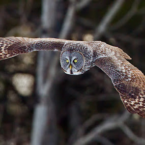 Great Gray Owl by Herb Houghton - Animals Birds ( bird of prey, great gray owl, owl, fantastic wildlife, raptor, herbhoughton.com )