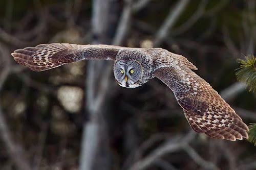 Great Gray Owl by Herb Houghton - Animals Birds ( bird of prey, great gray owl, owl, fantastic wildlife, raptor, herbhoughton.com )