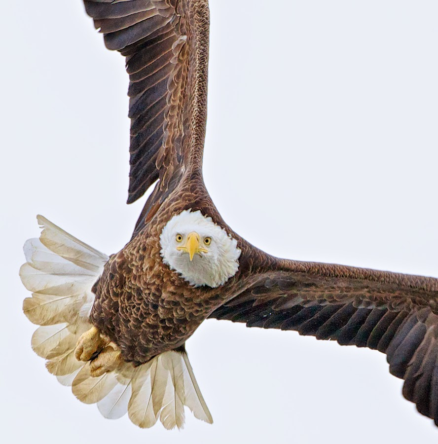 Soaring by Mark Theriot - Animals Birds
