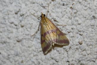 Photo: Pyrausta sanguinalis  Lepidoptera > Crambidae