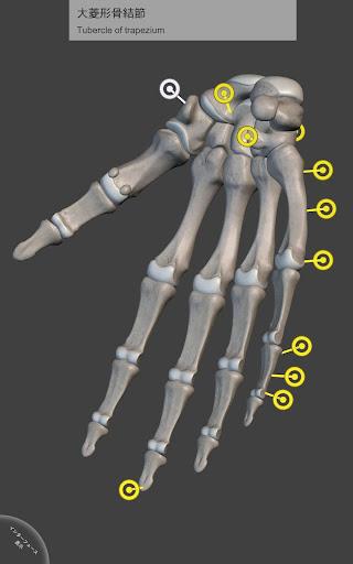 骨格系 - 上肢 - 解剖学3D アトラス - Lite
