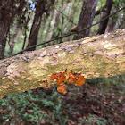 Jelly Fungus
