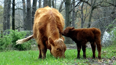 Photo: Amber and her hours old calf!