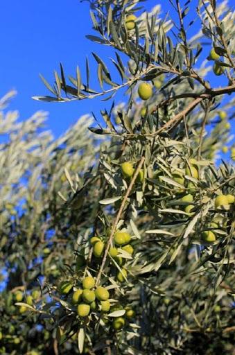 Branche d'olivier à la maison d'hôtes l'Esclériade