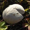 Common Puffball Mushroom