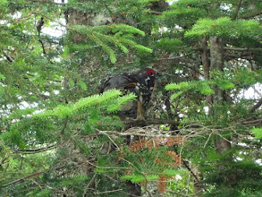 Photo: Spruce Grouse