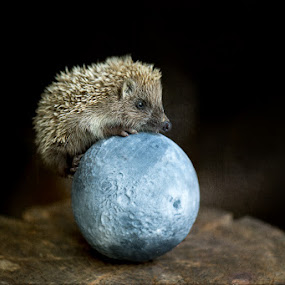 over the moon by Anna Trandeva - Animals Other Mammals ( hedgehog, moon, over, blue,  )