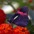 Pereute butterfly