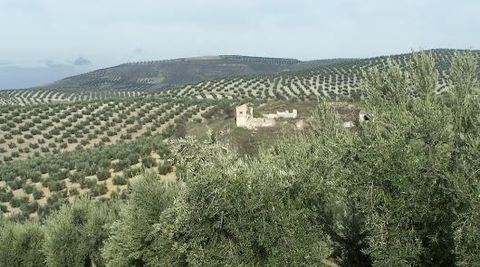 Almería crece en producción de aceite de oliva de calidad excepcional