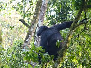 Photo: Pan troglodytes - Kibale NP, Uganda