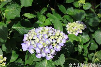 Photo: 拍攝地點: 梅峰-溫帶花卉區 拍攝植物: 繡球花 拍攝日期: 2015_06_09_FY