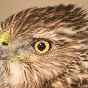 Coopers Hawk by Rusty Jhorn - Animals Birds ( bird, birds of prey, green, raptor, brown, yellow, hawk )