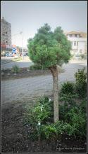 Photo: Pin (Pinus strobus 'Nana') - de pe Calea Victoriei, spatiu verde Mr.2 - 2016.09.04  Album: http://ana-maria-catalina.blogspot.ro/2016/09/pin-pinus-strobus-nana-album.html