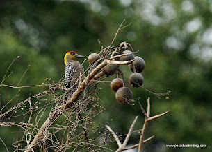 Photo: Golden-cheeked Woodpecker, Nuevo Vallarta
