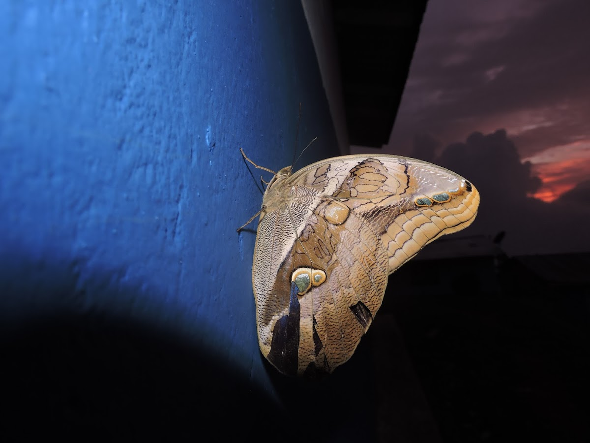Mariposa buho (Prima)