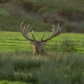 Stag by Garry Chisholm - Animals Other Mammals ( rut, stag, nature, mammal, red deer, wildlife, garry chisholm )