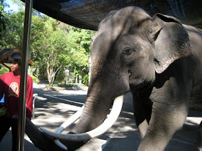 Photo: Elephant saying hello to a little girl on our trolley.  He was big.  She was afraid.  We could have jumped off and paid a few baht to buy bananas to feed this guy, but we were in a hurry to find a place to eat lunch ourselves.