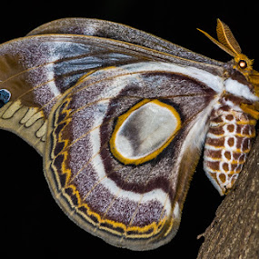 Atlas Moth by Joggie van Staden - Animals Insects & Spiders ( atlas moth, wings, insect, moth, animal )