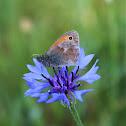Small Heath, Kleines Wiesenvögelchen