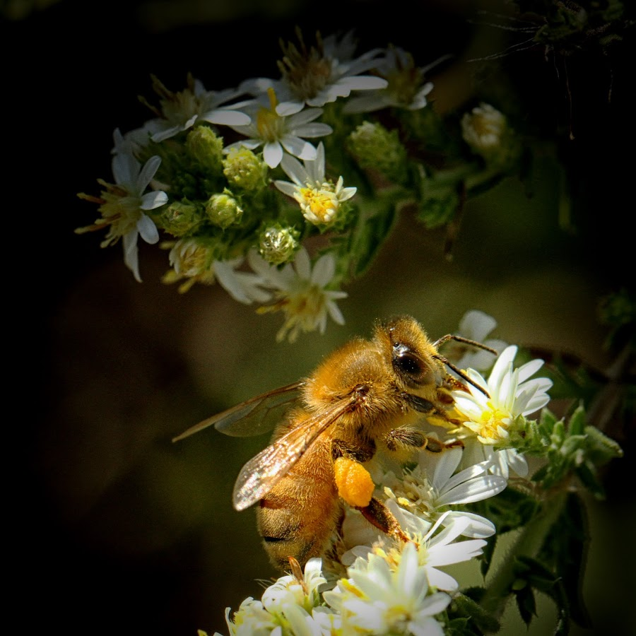 Autumn Honey Bee by David Uthe - Animals Insects & Spiders ( wildflowers, autumn, x100s, insects )