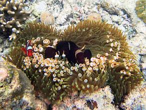 Photo: Premnas biaculeatus (Maroon Clownfish) with Entacmaea quadricolor (Bubble Anemone), Miniloc Island Resort reef, Palawan, Philippines.