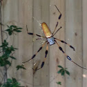 Golden Silk Orbweaver Spider ( Female )