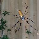 Golden Silk Orbweaver Spider ( Female )