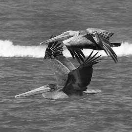 Pelicans by Craig Turner - Black & White Animals ( air show, ferry richmond bridge, vallejo, fleet week, birds, fa18, pelicans )