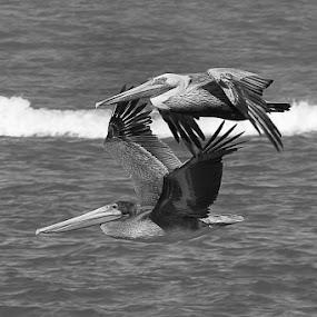 Pelicans by Craig Turner - Black & White Animals ( air show, ferry richmond bridge, vallejo, fleet week, birds, fa18, pelicans )