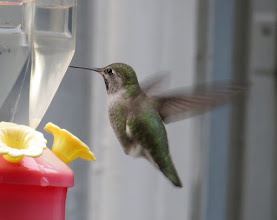 Photo: Anna's hummingbird at my feeder