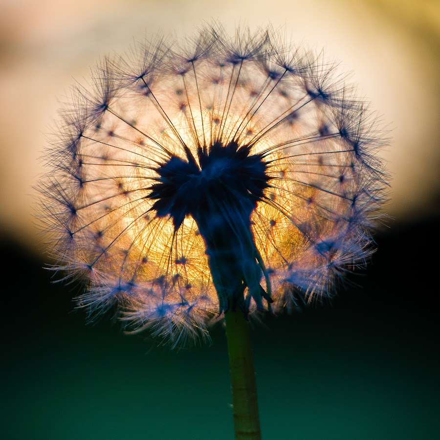 Dandelion at sunset by Molly Hollman - Nature Up Close Other plants ( seed, sunset, dandelion )
