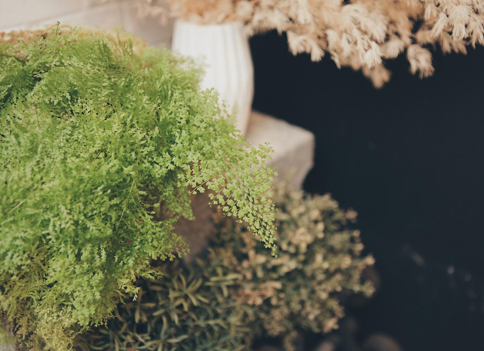 密葉蕾絲蕨 葉片小巧而密,喜歡半日照與潮濕的環境