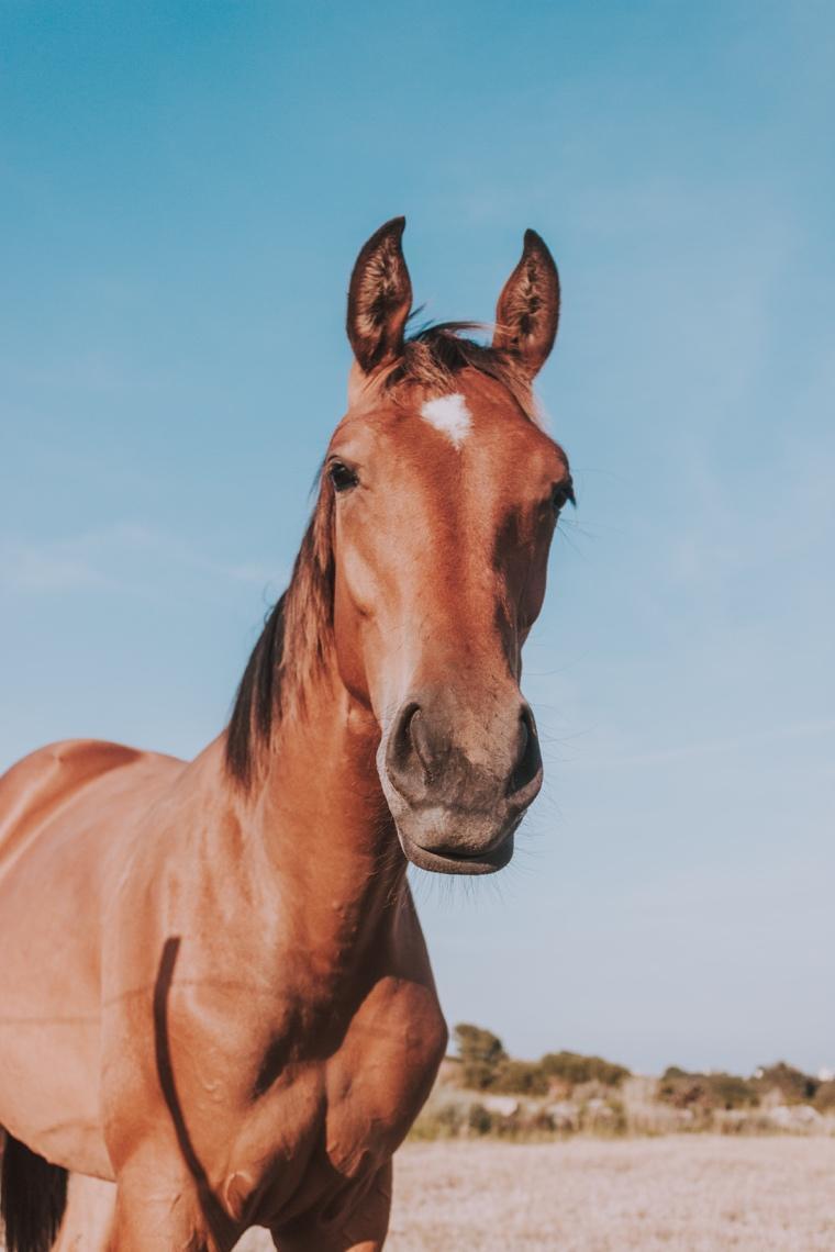Et billede, der indeholder udendørs, hest, dyr, brun  Automatisk genereret beskrivelse