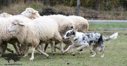 Photo: 7 months old - sheepherding