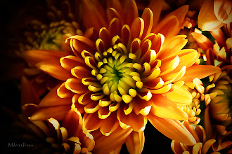Photo: ...happy thoughts...  Beautiful orange chrysanthemums as contribution to #floralfriday  +FloralFriday by +Tamara Pruessner; #breakfastclub  +Breakfast Club by +Gemma Costa and +Andrea Martinez; #colorsonfriday +ColorsOnFriday by +Karsten Meyer; #feelgoodfriday  +FeelGoodFriday by +Rebecca Borg and +Jason Borg; #canon   #canonusers +Canon Users; #plusphotoextract   #PlusPhotoExtract #photography #potd;  View larger image and more works from Yellow/Orange Floral Gallery: http://milenailieva.smugmug.com/Galleries/Floral/23811668_LzCs5Q#!i=2218846694&k=8b7k6MR