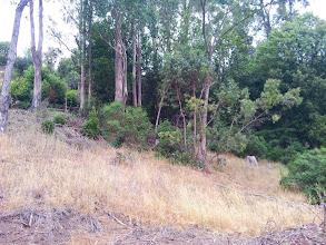 Photo: Some eucalyptus stumps mixed with the trees.