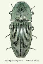 Photo: Chalcolepidus exquisitus, 45 mm, Costa Rica, Corcovado NP (08°27´/-83°29´), leg. & det. Erwin Holzer