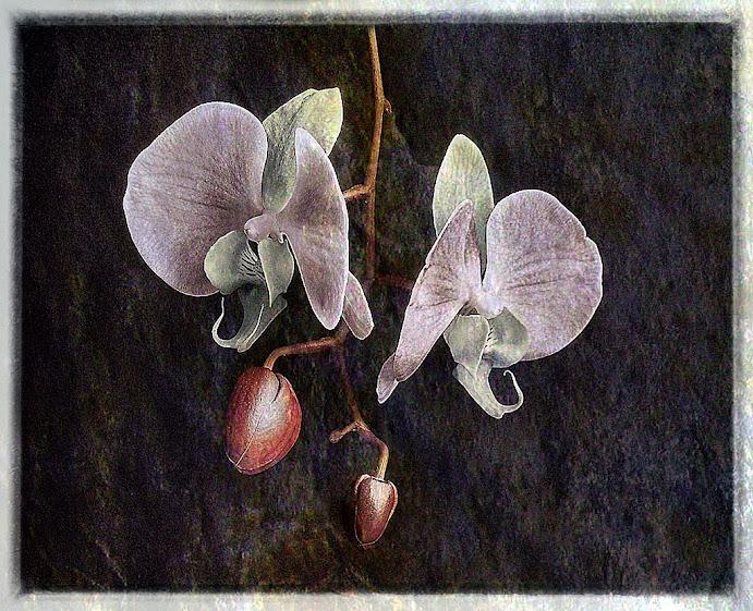 Coppia di orchidee - © Saro Di Bartolo