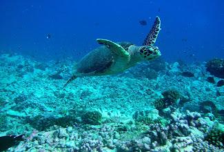 Photo: Hawksbill Sea Turtle