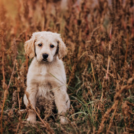 cuteness by Krisztina Fejér - Animals - Dogs Puppies ( love, retriever, puppy, animal, autumn, dog, cute,  )
