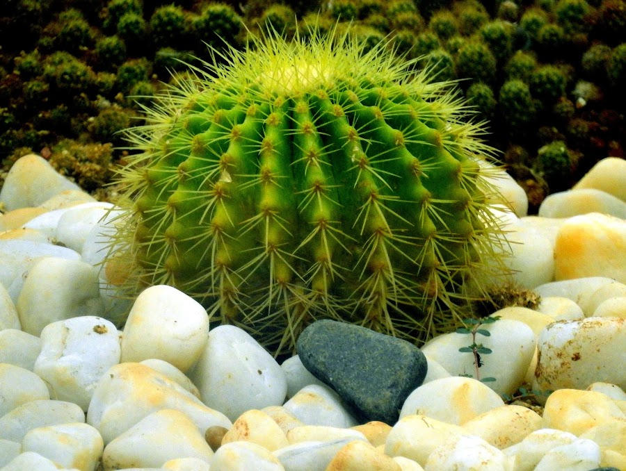 Cactii by Asif Bora - Nature Up Close Other plants (  )
