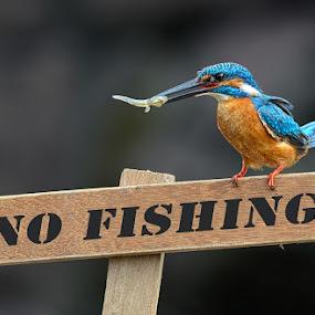 no fishing by Raj Dhage - Animals Birds ( nikon 300mm f4, common kingfisher, no fishing, nikon )
