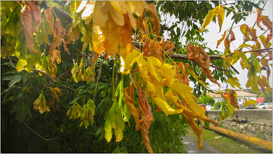 Photo: Arțar american (Acer negundo) - din Turda, Calea Victoriei - 2019.07.15