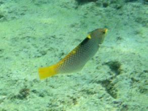 Photo: Halichoeres hortulanus (Marble Wrasse), Siquijor Island, Philippines