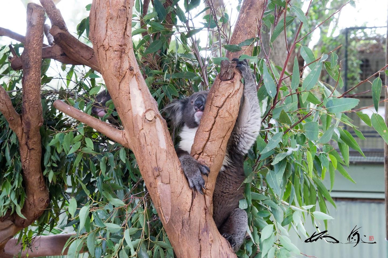 柔軟な動きのコアラ