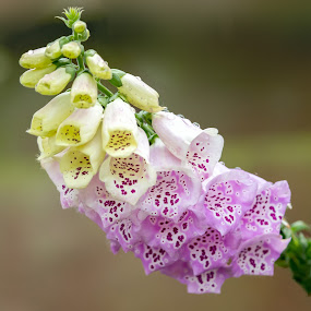 Bi-coloured Foxglove by Stephen Crawford - Flowers Flower Gardens ( bi-coloured, two colours, purple, foxglove, yellow, telephoto, garden,  )